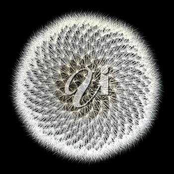 Experiments with the golden ratio, top view of dandelion seeds with black background. Notice the spiral pattern. Isn't nature inspiring?