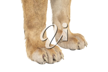 Lion paws wild big claws, close view. 3D rendering