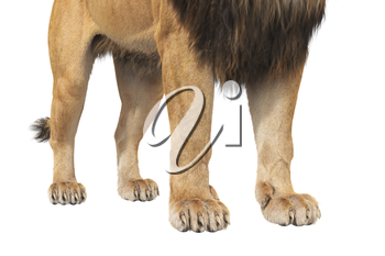 Lion paws african beast with fur, close view. 3D rendering